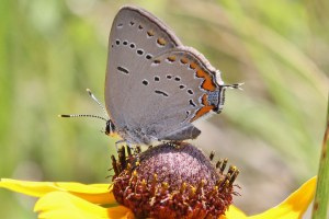 Black-eyed Susan - Rudbeckia hirta with Acadian Hairstreak