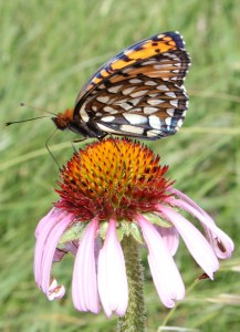 Regal Fritillary on purple coneflower in SD - MN Zoo