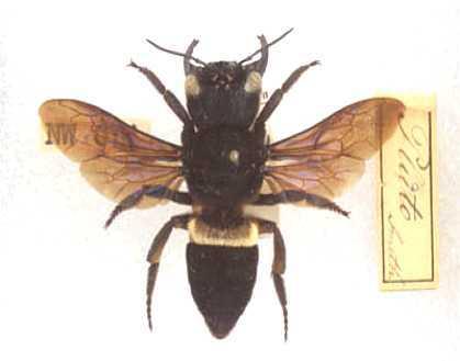 abeille-megachile-chalicodoma-pluto-wallace