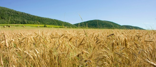 felsoetold_wheat_field_hungary