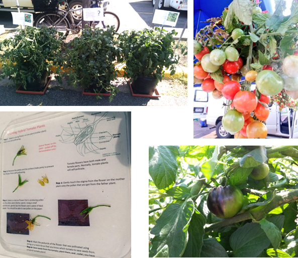 Tomatoes! Top left: A hybrid tomato plant flanked by its mother and father plants*. Hybridization is used to introduce new variation into plants. Bottom right: Close-up of a tomato from the father plant, INDIGO™ 'Blue Dawg'. Top right: A bunch of tomatoes cut from a high yielding, early maturing plant being developed for northern climates.