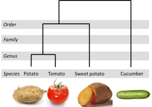 An example of plant evolutionary relationships. How related are the plants you're eating today?