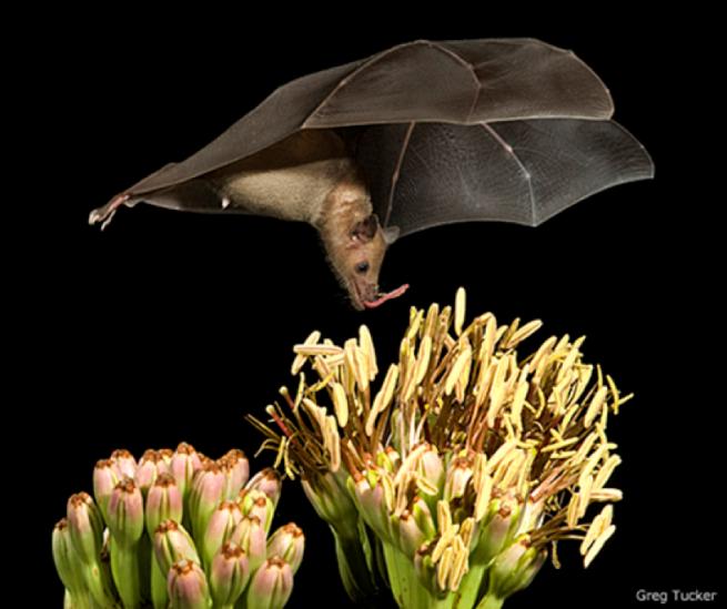 BatPollination
