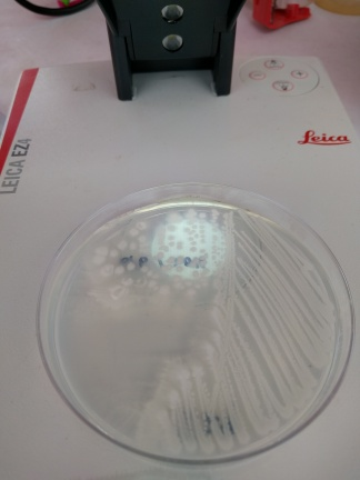 We looked at bacterial colonies, the microbes that do the work in a bioreactor!