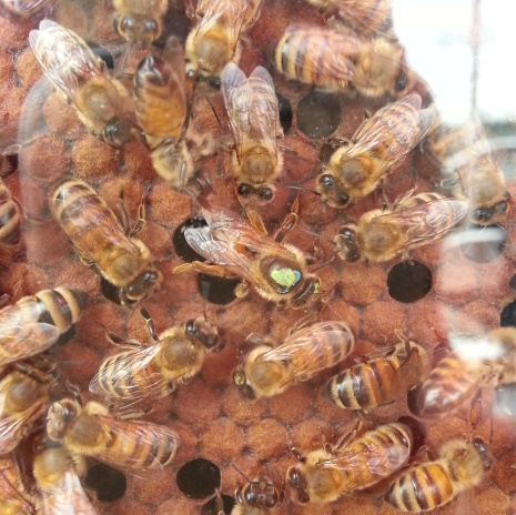 MarketScience_HoneyBees_Queen